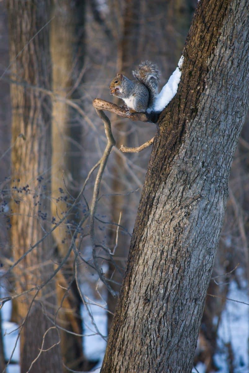 Écureuil dans un arbre en hiver