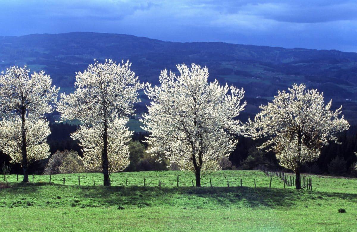 Une rangée d'arbres dans la nature d'Ambert