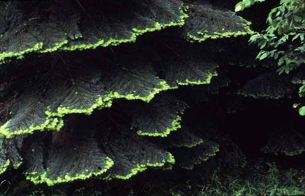 La hêtraie sapinière du Livradois-Forez : deux essences d'arbres