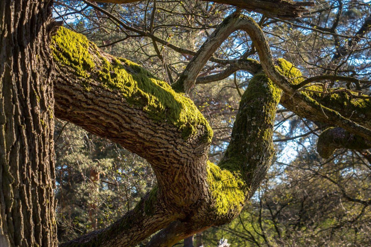 Une branche de chêne couverte de mousse