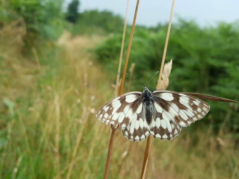 Papillon emblématique du parc Livradois-Forez, vallée du Madet