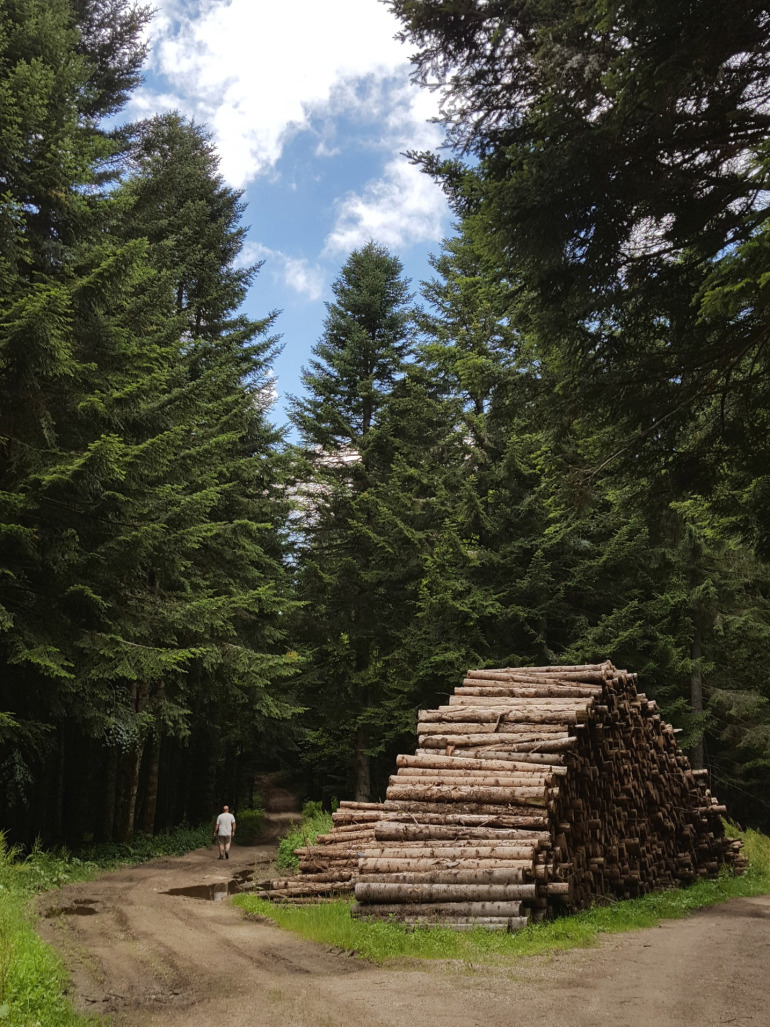 Les sapins du bois de Pierre Blanche