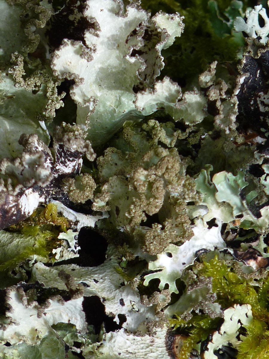 À la découverte des lichens de la vallée du Fossat