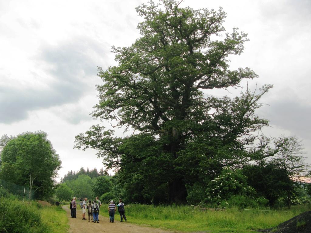 PCU_chêne centenaire_arbre remarquable